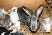 продам петухов,  кроликов