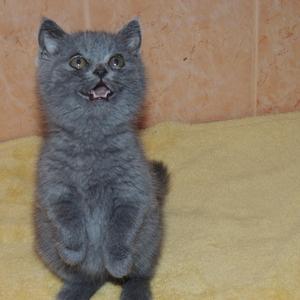 Очаровательный британский котик 2 месяца