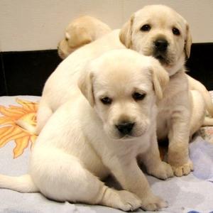 Продаются великолепные щенки Лабрадора Ретривера