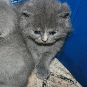 Продам,  британкие короткошерстные котята