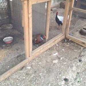продам павлинов, фазанов, голубей