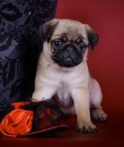 Бежевый щенок мопс,  родословная